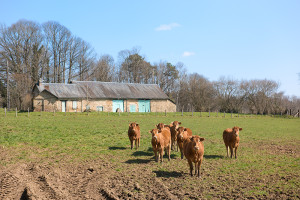 French Limousin cows